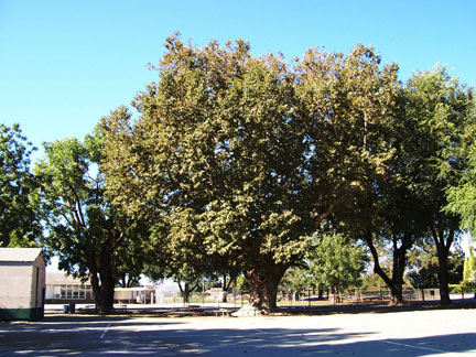 [ Ancient tree at San Ysidro Rancho. ]
